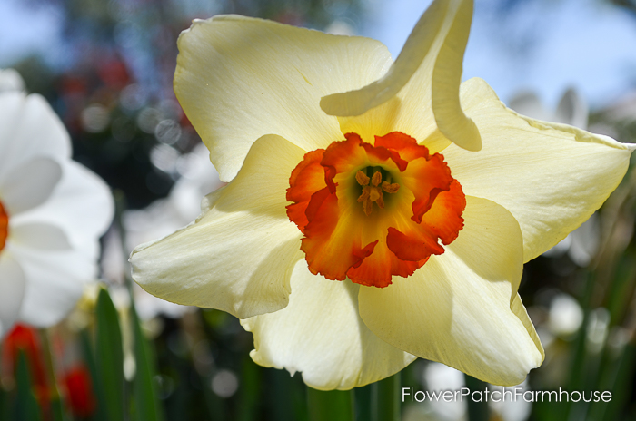 Ironstone Wineries Daffodils 2017, garden tour wine barrel container garden, daffodils at Ironstone