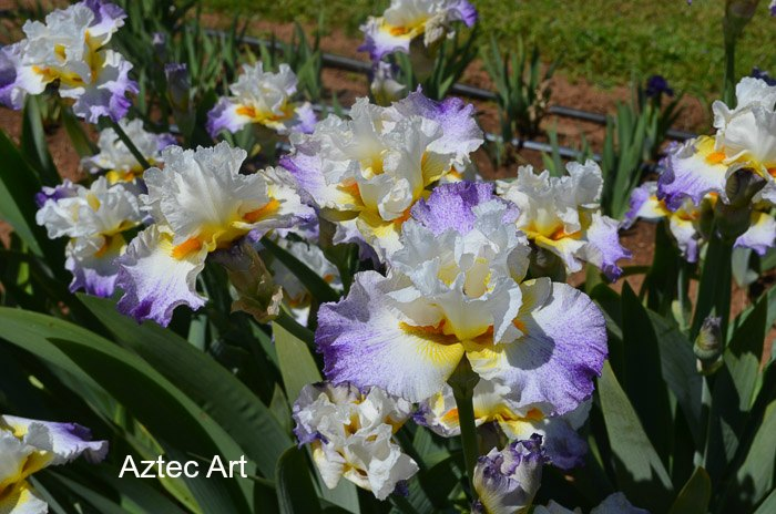Iris Garden Visit 2017, Some gorgeous Iris for you to Enjoy, Superstition Iris Garden