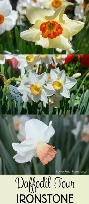 Ironstone Wineries Daffodils 2017, garden tour wine barrel container garden