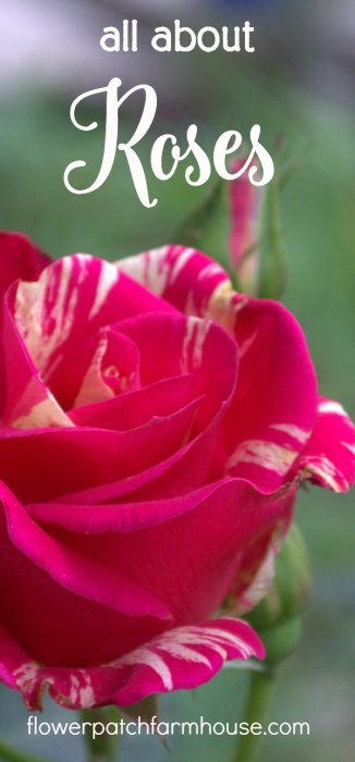 All about roses, Grow, Propagate and Prune. Roses are easier to grow organically that many think! Dump the idea that roses are difficult or fussy. I show you how I do it with ease and get loads of fragrant blooms every year. I have been growing roses for 30+ years. FlowerPatchFarmhouse.com