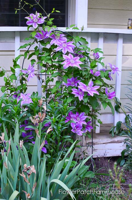 clematis on garden tour late may 2017