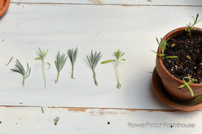 Propagating Lavender from Cuttings, so easy and fun. You can create an entire lavender hedge with just one plant! I will show you how!