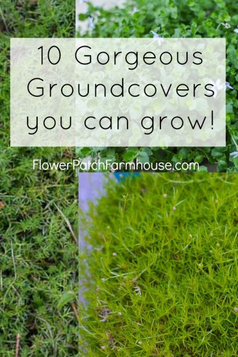 10 Gorgeous Groundcovers you can grow, FlowerPatchFarmhouse