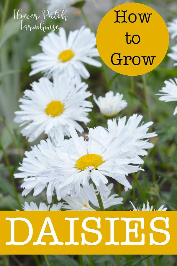 How to Grow Daisies in your cottage garden. An easy, drought tolerant perennial that comes in many shapes, sizes and forms. Start from seeds, root divisions or cuttings. A daisy adds that spark of white every garden needs to calm the chaotic colors. Beginner gardener friendly. They fit in all types of gardens from a cottage, farmhouse or traditional garden style.  #daisies #easytogrow #smallgarden