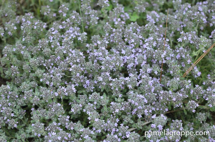Gorgeous Groundcovers, Wooly Thyme