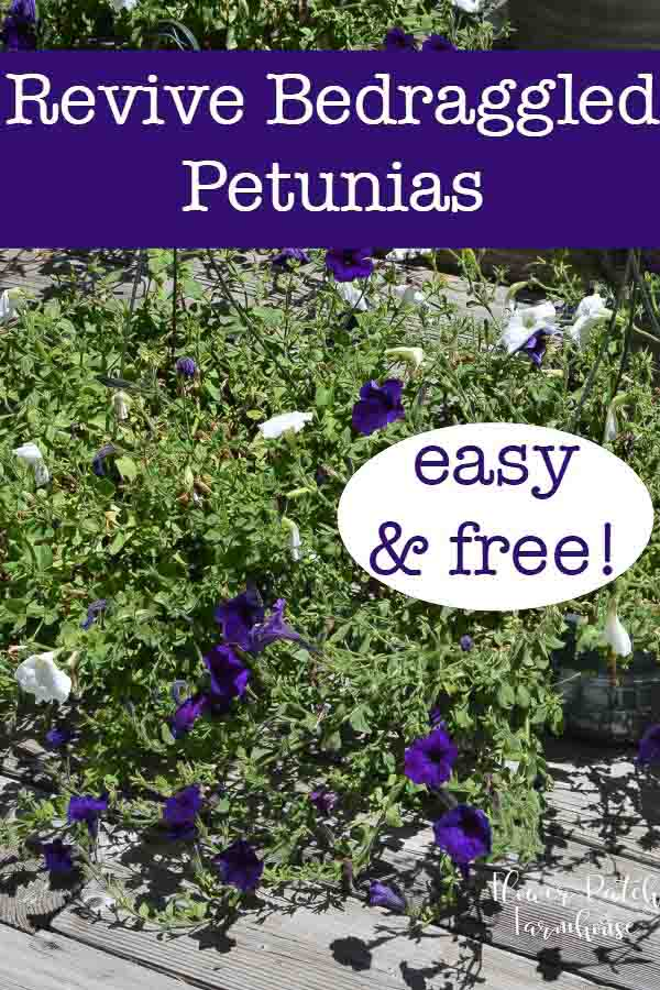 How I revived some potted petunias that were just spent. Struggling to survive and not blooming in mid Summer. They needed help and this is what I did to get fresh new blooms on a failing plant. #gardening #petunias #annuals #easygardening #gardenideas