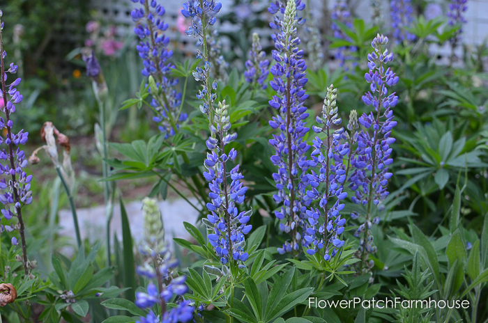 early June 2017 Garden tour, Russell Lupines