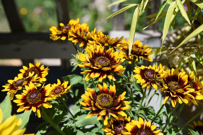 Denver Daisy Black Eyed Susans