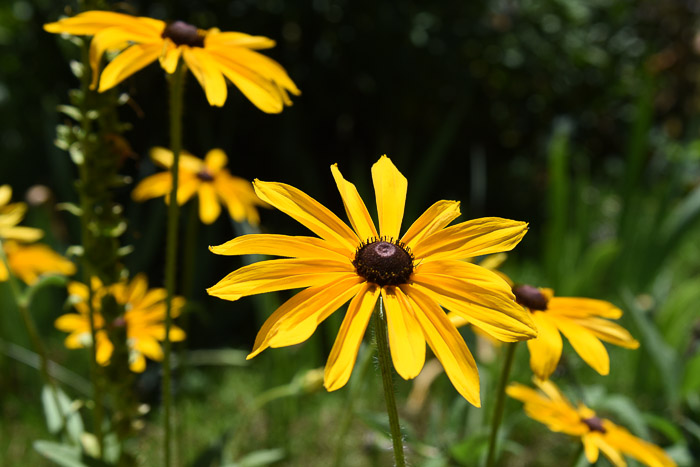 How to Grow Black Eyed Susans,