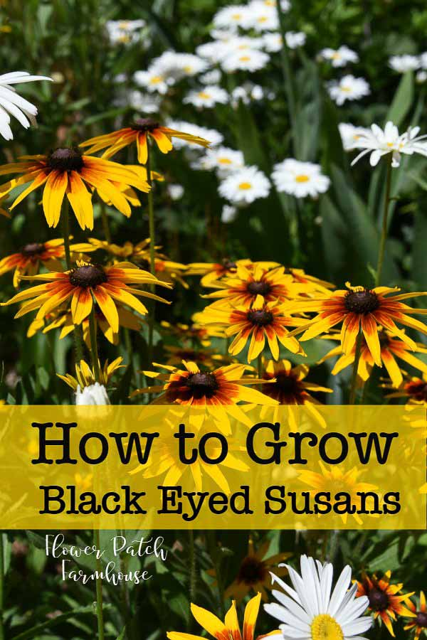 How to grow Black Eyed Susans for a vibrant easy care garden filled with gorgeous blooms all through the heat of summer! A wonderful addition to your cottage garden. #cottagegarden #easyperennials #blackeyedsusans #cuttinggarden