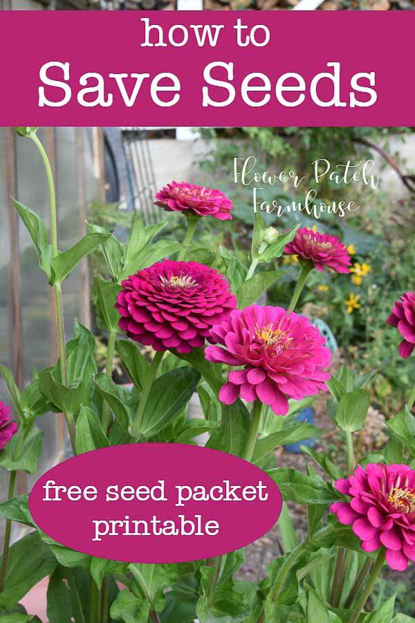 Pink Zinnias, seed saving