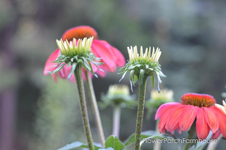 echinacea buds