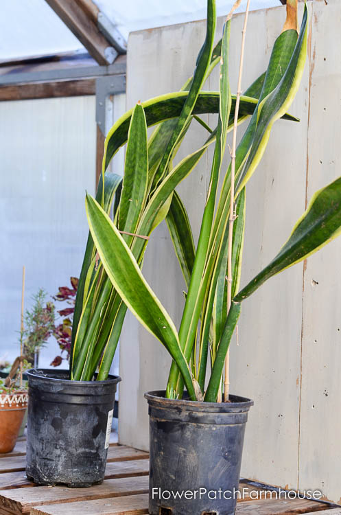How To Divide Sansevieria Or Snake Plant Flower Patch