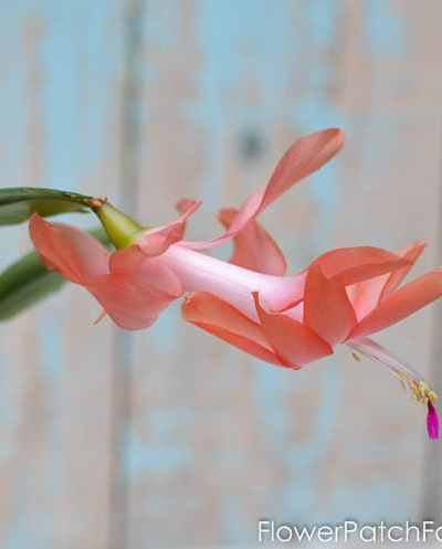 How to Root Christmas Cactus Plant