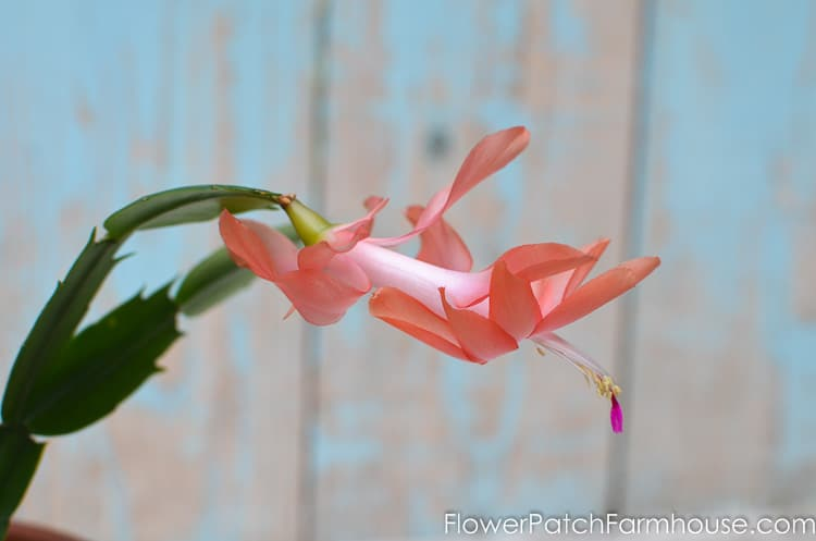How to Root Christmas Cactus Plant from a cutting, a simple way to propagate some of your favorite plants.