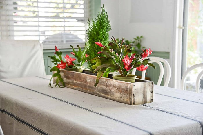 holiday cactus in table center piece