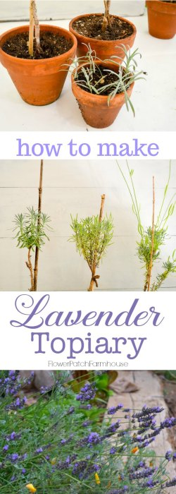 Creating Lavender topiary from cuttings, an easy, fun garden project.