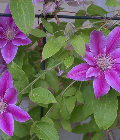Spring Pruning Clematis