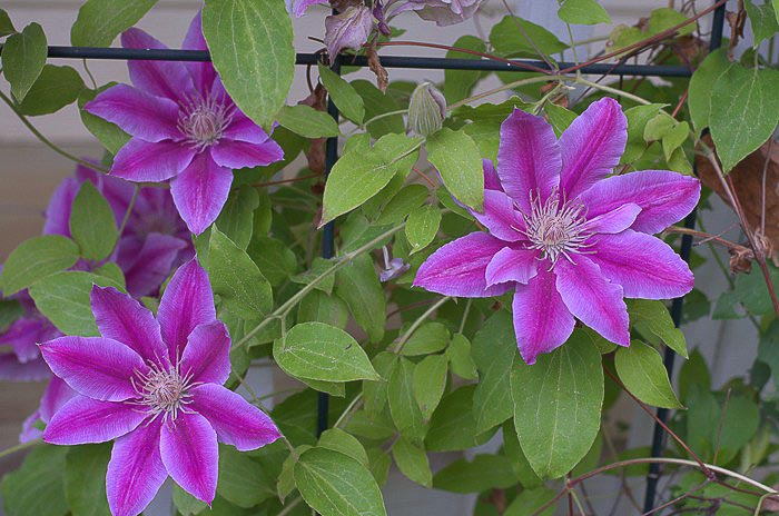 Spring pruning clematis flower patch farmhouse spring pruning my clematis mightylinksfo Gallery