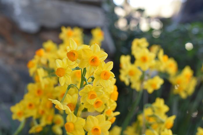 Martinette Daffodils
