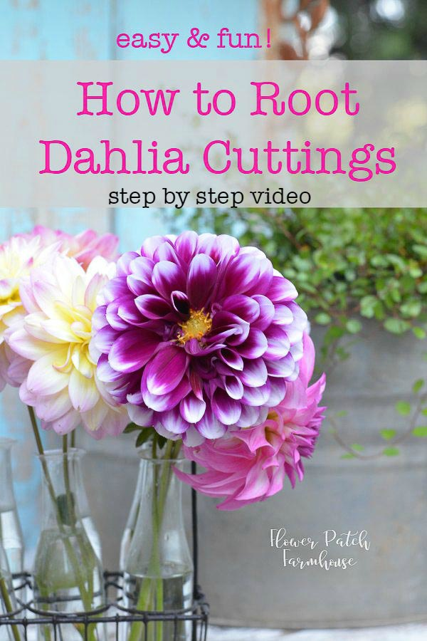 Propagate Dahlias from Cuttings.  An easy step by step tutorial with video to show you just how to do it. #dahlias #cottagegarden #propagation #gardening