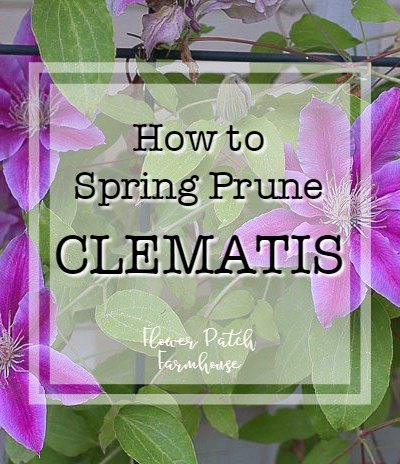 Nelly Moser Clematis with text overlay, how to spring prune clematis, Flower Patch Farmhouse