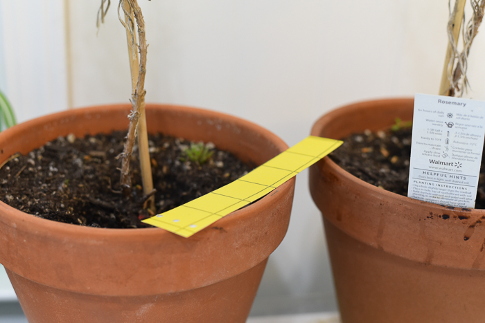 Sticky trap on terra cotta pot of rosemary, how to control fungus gnats