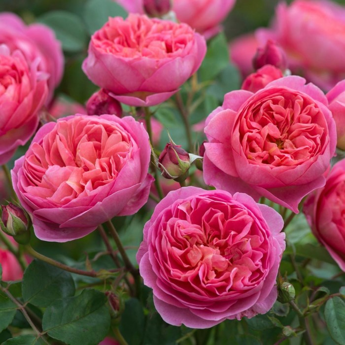 Bascobel David Austin English Rose,
