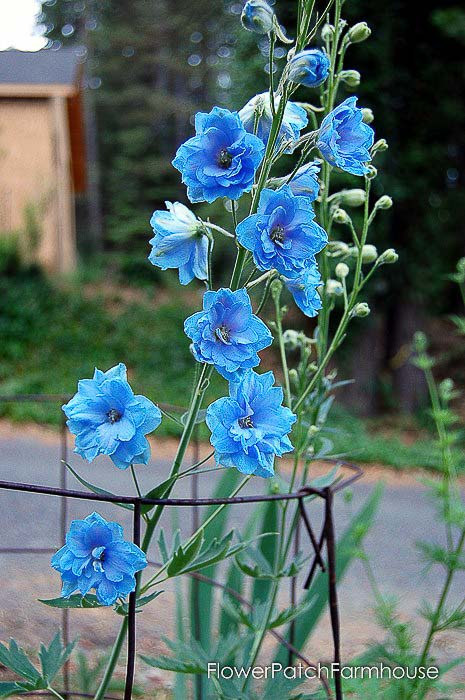 Bright blue delphinium, how to propagate delphiniums with cuttings