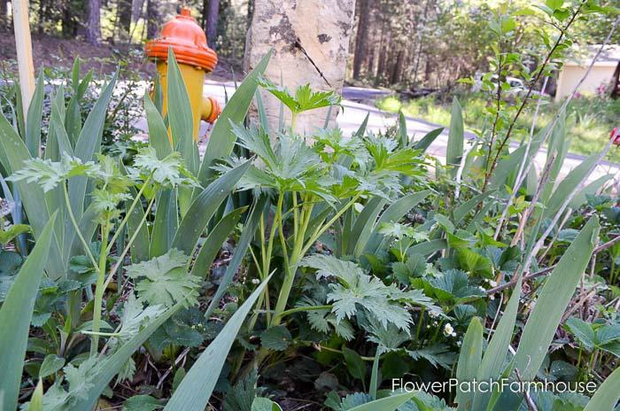Delphinium in spring, how to take delphinium cuttings