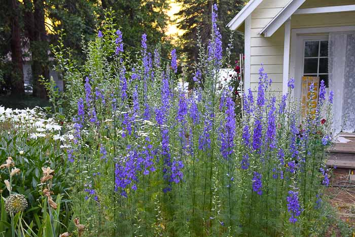 Larkspur, Flowers that attract Hummingbirds