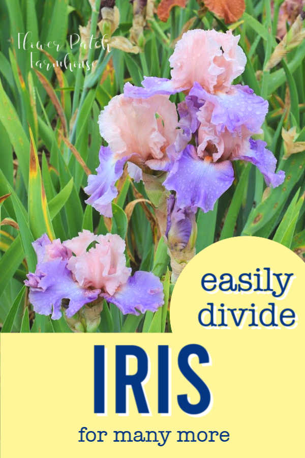 pink and lavender iris with text overlyay, Easily divide Iris for many more, Flower Patch Farmhouse