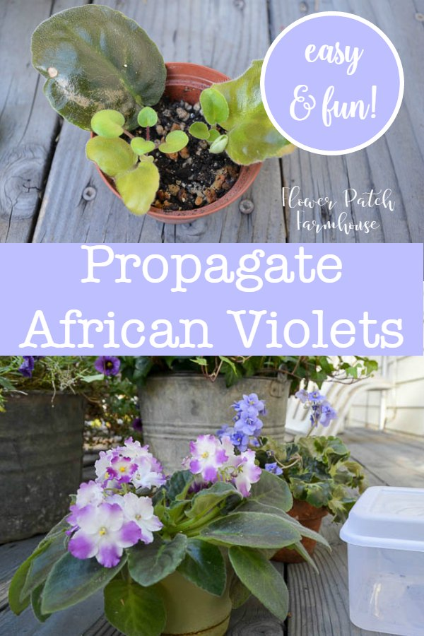 Easy enough for beginners,  Propagate African Violets with 100% success.  I have used this method numerous times and I always have success. African Violets light up our homes with blooms in the dark days of winter, enjoy more of what you love, buy cuttings online to get more colors and share with friends. A favorite houseplant for ages. Get a great resource to buy these beautiful flowers that will wow you!  #easypropagation #africanviolets