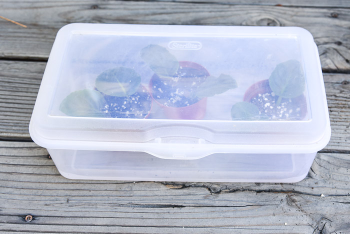 African Violet Cuttings in box for rooting, easy Propagate African Violets