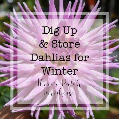 Cactus dahlia with text overlay, dig up & store dahlias for winter