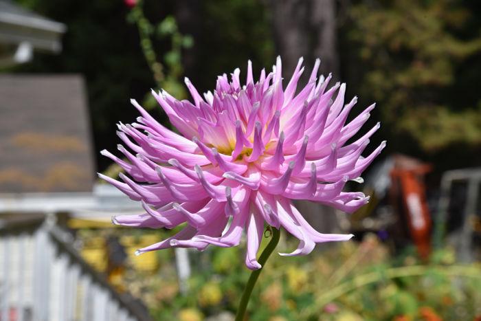 Cactus dahlia, garden journal FlowerPatchFarmhouse