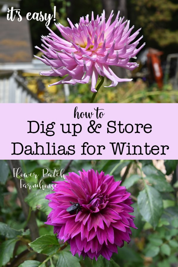 Dahlias, pink and magenta, with text overlay. Dig up Dahlias for winter storage