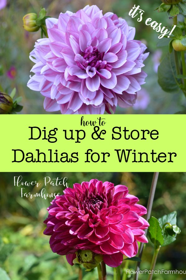 Dahlia tubers are easy to dig up to store overwinter. I show you how quickly and easily, making it less of a chore and more of a delight.  Dahlias are a great beginner gardeners plant, lots of bang for your buck! #easygardening #easyflowers