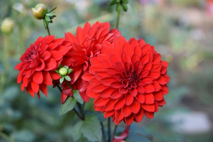 Red dahlia, November garden journal