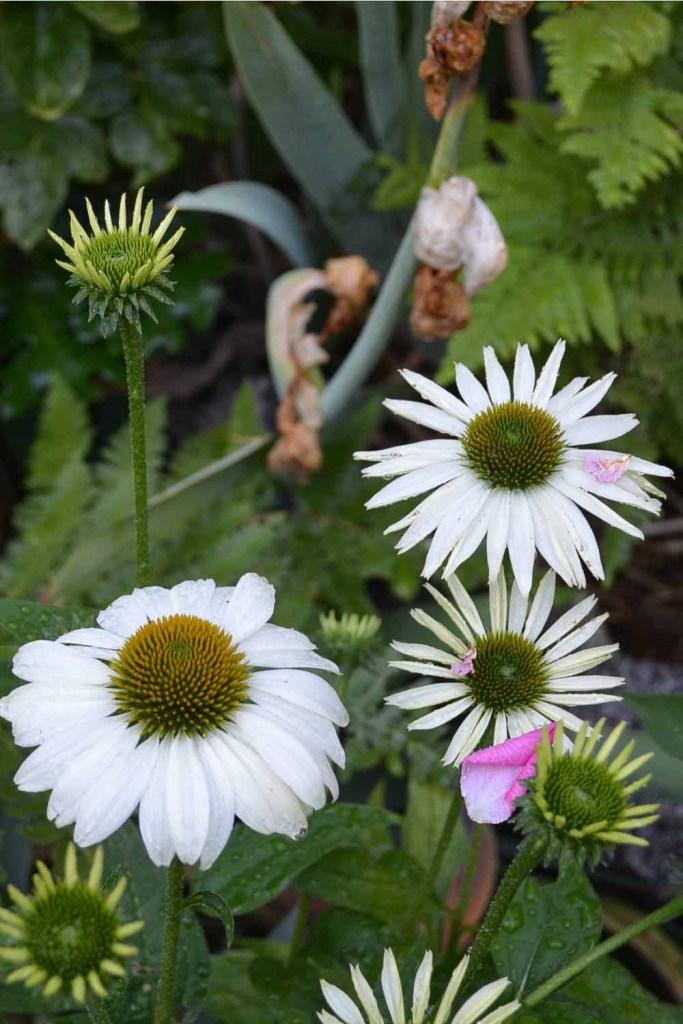 White Swan Echinacea coneflower, how to divide echinacea conflower, Flower Patch Farmhouse
