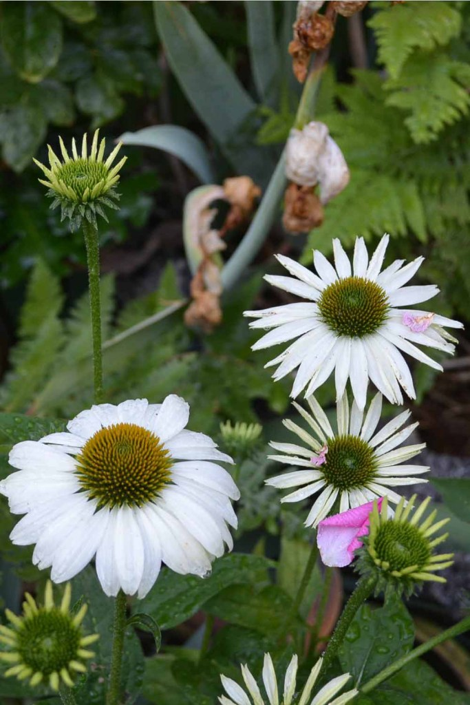 White Swan Echinacea coneflower, how to divide echinacea conflower, Flower Patch Farmhouse