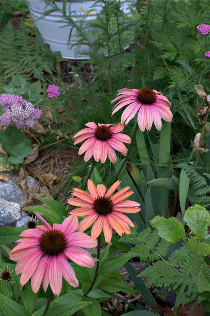Katie Saul or Summer Sky Echinacea, how to divide Echinacea, Flower Patch Farmhouse