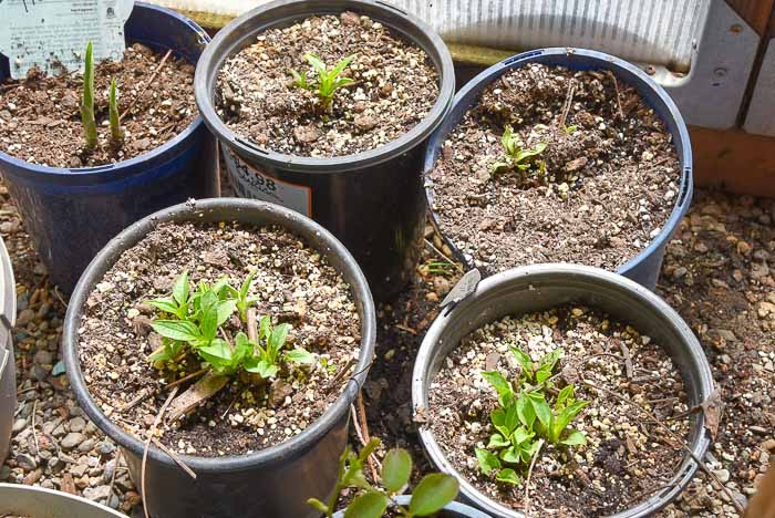 White Swan echinacea sprouts