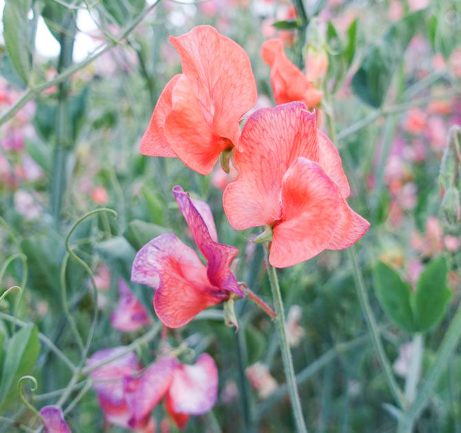 Sweet pea blue vein,