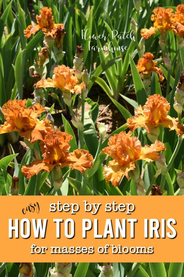 Beautiful orange iris with text overlay, step by step how to plant iris for masses of bloom, flower patch farmhouse