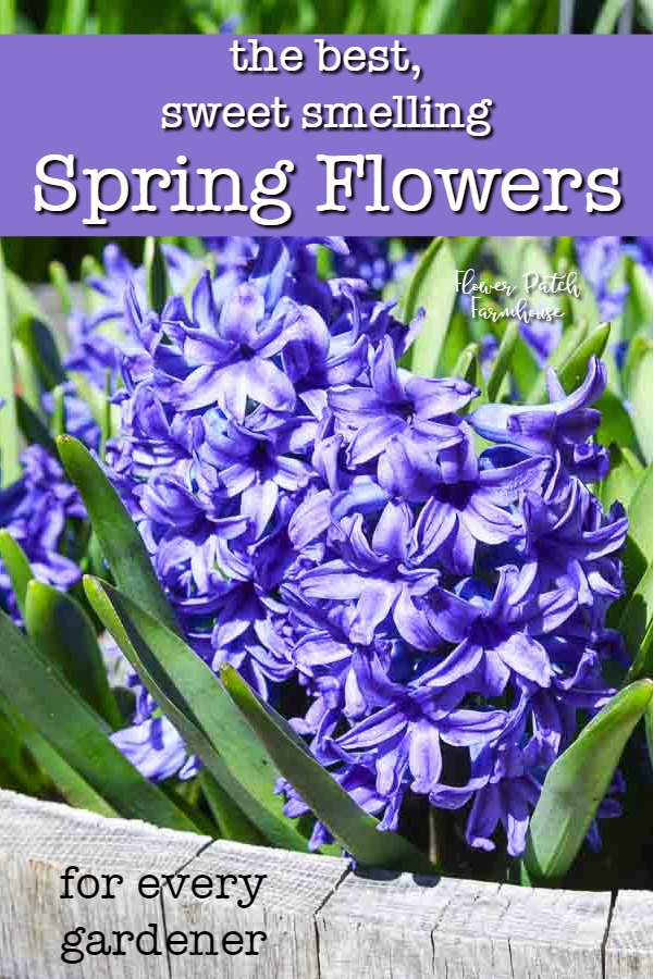 Purple Hyacinth flower with text overlay, the best smelling Spring flowers, Flower Patch Farmhouse