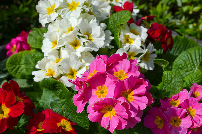 White and Pink Primroses with text overlay, 10 plus Best smelling spring flowers, Flower Patch Farmhouse