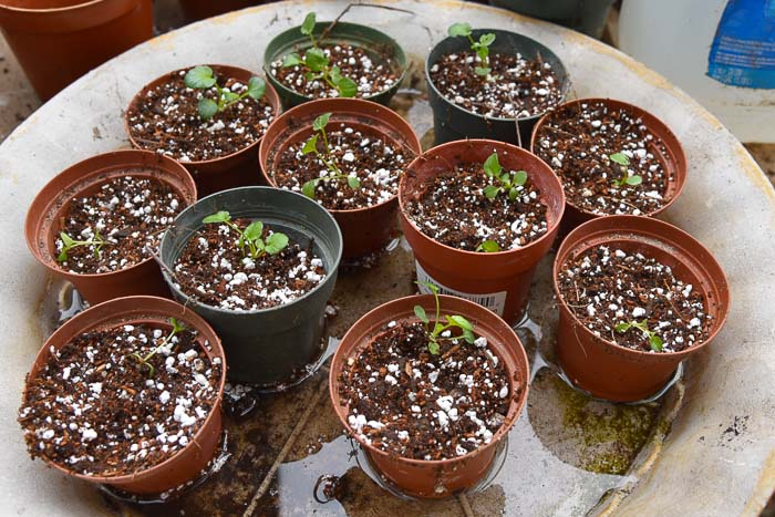 Pansy seedlings in small 3 inch pots, Thinning and potting up seedlings, Flower Patch Farmhouse