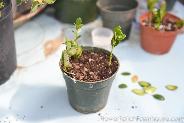 Boxwood cuttings or slips in pot