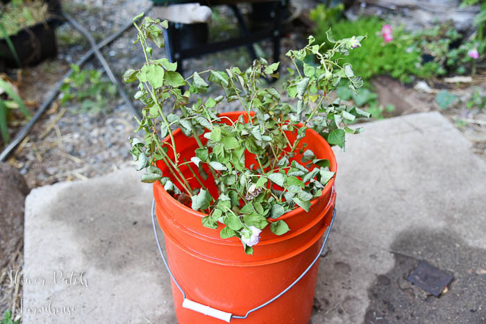 dying rose in 5 gallon bucket of water, how to save a dying rose bush